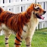 golden-retriever-tigre-06